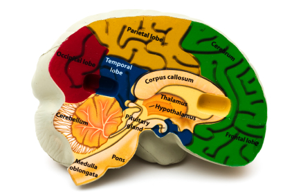 Where Declarative Memory is Stored in the Brain